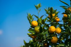 Kumquat, the symbol of Vietnamese lunar new year. In nearly every household, crucial purchases for Tet include the peach and kumqu. At plant stock photos