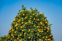 Kumquat, the symbol of Vietnamese lunar new year. In nearly every household, crucial purchases for Tet include the peach and kumqu. At plant royalty free stock photos