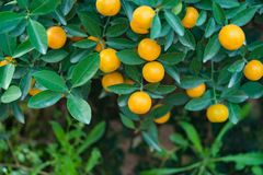 Kumquat, the symbol of Vietnamese lunar new year. In nearly every household, crucial purchases for Tet include the peach and kumqu. At plant royalty free stock image
