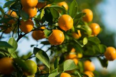 Kumquat, the symbol of Vietnamese lunar new year. In nearly every household, crucial purchases for Tet include the peach and kumqu. At plant stock images