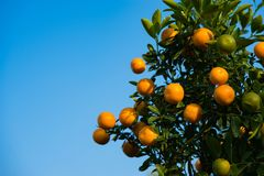 Kumquat, the symbol of Vietnamese lunar new year. In nearly every household, crucial purchases for Tet include the peach and kumqu. At plant stock photography