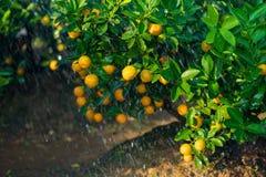 Kumquat symbolet av det vietnamesiska mån- nya året I nästan varje hushåll inkluderar avgörande köp för Tet persikan och kumquen royaltyfri foto