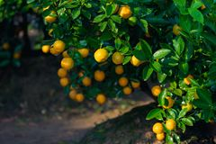 Kumquat symbolet av det vietnamesiska mån- nya året I nästan varje hushåll inkluderar avgörande köp för Tet persikan och kumquen arkivfoto