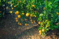 Kumquat symbolet av det vietnamesiska mån- nya året I nästan varje hushåll inkluderar avgörande köp för Tet persikan och kumquen fotografering för bildbyråer