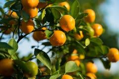 Kumquat symbolet av det vietnamesiska mån- nya året I nästan varje hushåll inkluderar avgörande köp för Tet persikan och kumquen arkivbilder