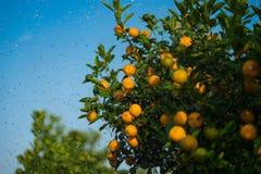 Kumquat symbolet av det vietnamesiska mån- nya året I nästan varje hushåll inkluderar avgörande köp för Tet persikan och kumquen royaltyfria bilder