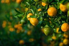 Kumquat symbolet av det vietnamesiska mån- nya året I nästan varje hushåll inkluderar avgörande köp för Tet persikan och kumquen royaltyfri fotografi