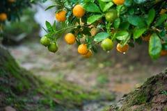Kumquat symbolet av det vietnamesiska mån- nya året I nästan varje hushåll inkluderar avgörande köp för Tet persikan och kumquen royaltyfri bild