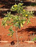 Kumquat Tree. Young Kumquat tree carrying fruit Royalty Free Stock Photo