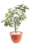 Kumquat tree. With white background Royalty Free Stock Photos