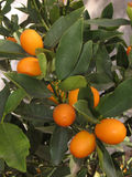 Kumquat tree. Close Up of Kumquat fruits on natural tree Stock Images