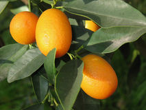 Kumquat tree Royalty Free Stock Photo