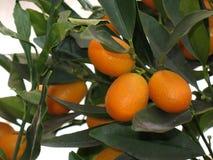 Kumquat tree. Close Up of Kumquat fruits on natural tree Royalty Free Stock Image