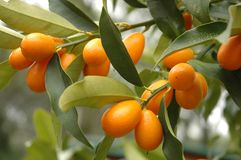 Kumquat Tree. With fruit and leaves Stock Photography