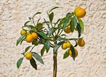Kumquat Tree Royalty Free Stock Photos