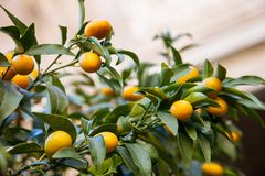 Kumquat tree. Background, closeup shot Royalty Free Stock Images