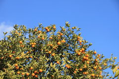 Kumquat tree and blue sky. This is a picture of kumquat trees and blue sky of a winter day Royalty Free Stock Photos