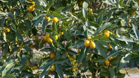 Kumquat Tree closeup 4. Kumquat Tree branches with fruits closeup Royalty Free Stock Photo
