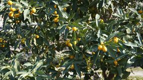 Kumquat Tree closeup 5. Kumquat Tree branches with fruits closeup Stock Photo