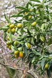 Kumquat Tree 3 closeup. Kumquat Tree branches in an orchard closeup Stock Photos