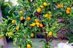 Kumquat Tree - Exotic  orange Stock Photos