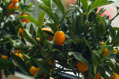 Kumquat tree. With fresh orange fetus fruits Stock Image
