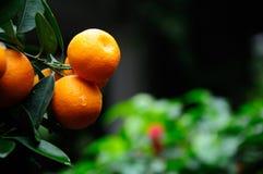 Kumquat Tree Royalty Free Stock Photo