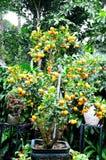 Kumquat Tree Royalty Free Stock Images