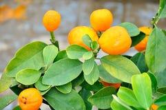 Kumquat Tree Stock Photos