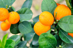 Kumquat Tree. With fruit and leaves Stock Photo