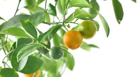 Kumquat tree with fruit and leaves. House plant fortunella kumquat. Branch with fruits stock video footage