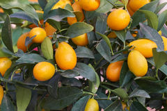 Kumquat on tree. In the garden Royalty Free Stock Photos