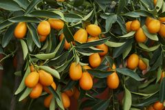 Kumquat on tree. In the farm Royalty Free Stock Photo