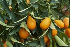 Kumquat on tree. In the farm Stock Photo