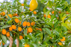 Kumquat tree. With orange fruits Royalty Free Stock Photos
