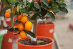 Kumquat tree in orange pot in a green house. Closeup of kumquat tree in orange pot in a green house Stock Photo