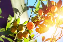 Kumquat tree, orange tree ripe juicy sweet orange. In the garden with sunlight Royalty Free Stock Photos