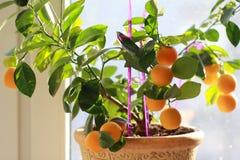 Kumquat tree potted royalty free stock images
