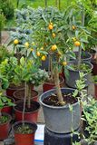 Kumquat at tree. Small kumquat citrus tree in pot Stock Photos