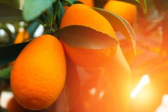 Kumquat tree. small oranges. Kumquat tree small oblong oranges on a tree Royalty Free Stock Images