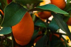 Kumquat tree. small oranges. Kumquat tree small oblong oranges on a tree Royalty Free Stock Image