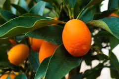 Kumquat tree. small oranges. Kumquat tree small oblong oranges on a tree Royalty Free Stock Photos