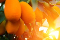 Kumquat tree. small oranges. Kumquat tree small oblong oranges on a tree Royalty Free Stock Photo