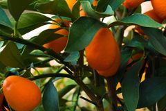 Kumquat tree. small oranges. Kumquat tree small oblong oranges on a tree Stock Photo