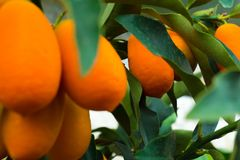 Kumquat tree. small oranges. Kumquat tree small oblong oranges on a tree Stock Photography