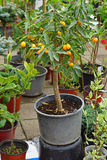 Kumquat tree. Small kumquat tree in pot Royalty Free Stock Photos