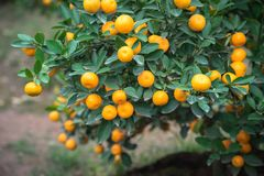 Kumquat tree. Together with Peach blossom tree, Kumquat is one of 2 must have trees in Vietnamese Lunar New Year holiday in north.  Royalty Free Stock Photos