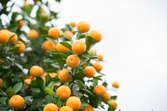 Kumquat tree. Together with Peach blossom tree, Kumquat is one of 2 must have trees in Vietnamese Lunar New Year holiday in north.  Stock Photography