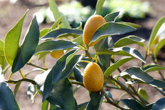 Kumquat Tree Royalty Free Stock Image