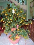 Kumquat treen voor Tet-Vakantie royalty-vrije stock afbeeldingen